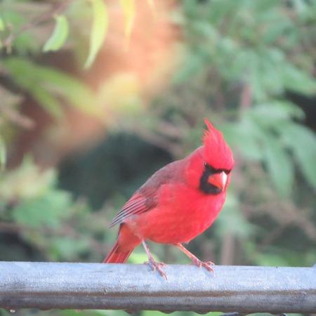 Northern Cardinal1