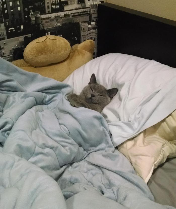 布団できちんと寝てる猫が可愛い