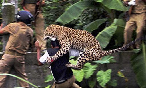 110725_leopard-ap