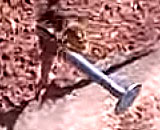 信じられない・・ ハチが壁に刺さった釘を引っこ抜く衝撃映像