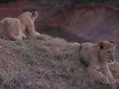 【でっかい猫】 2頭のライオンが丘の上で「まったり」していた → すると1頭が…