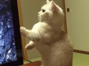 短足なネコが「パソコン」を気にしていた。横からDVDが出てくる → ねこ、猫背が治る!