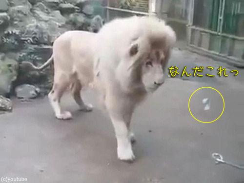 シャボン玉が地面に落ちるのを見たライオン「えええっ!?」(動画)