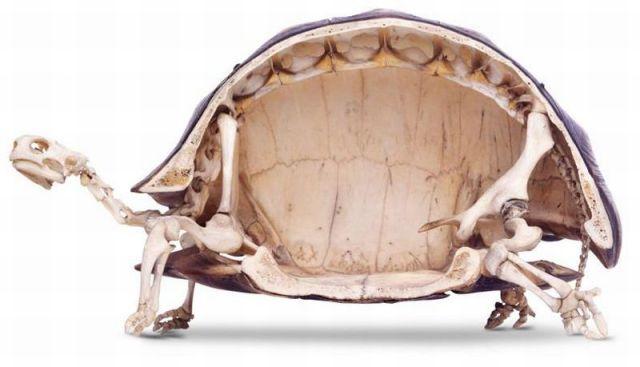 ●【画像】亀の骨格断面図 中は、こんな感じ