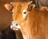 【動画】 神秘! 背中から脚が生えている牛が話題に = 中国