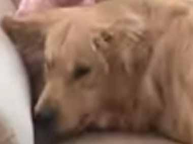 【イヌ】 赤ちゃんがソファの隅に座っていた。大好き~♪ → でっかい犬はこうなります…