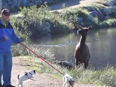 イヌを連れて湖畔を散歩してたら野生のヘラジカが現れた。この辺ではよくあることだ。その横を通り過ぎる → すると…