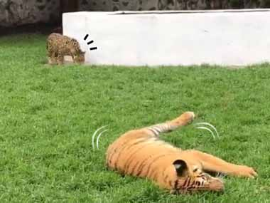 【でっかい猫】 トラが芝生の上でゴロゴロしていた。後ろからジャガーが近づく → こんな顔になる…