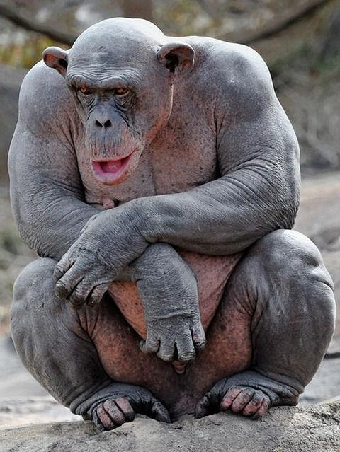 握力500kgのチンパンジーの筋肉がガチでやばい件wwwwwwwww (※画像あり)