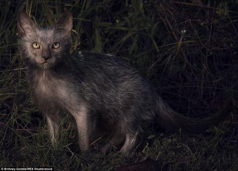 【画像】オオカミのような風貌を持つ新種のネコが誕生