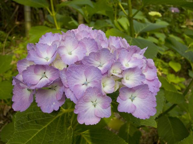 紫陽花 いつもの帰り道