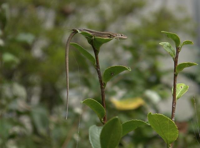 カナヘビの昼寝