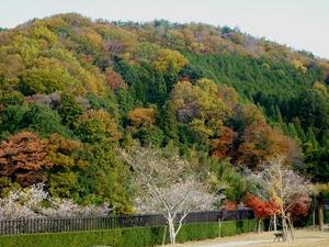桜と紅葉1