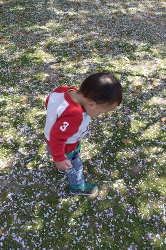ちびと桜3