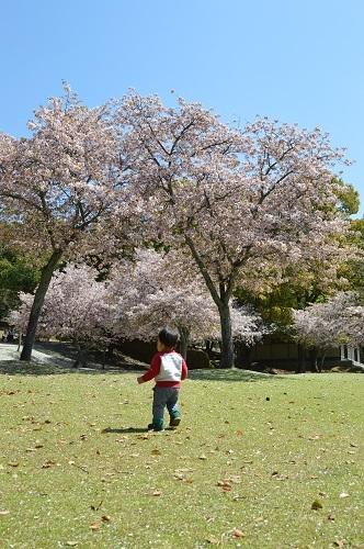 ちびと桜5