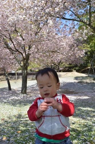 ちびと桜7