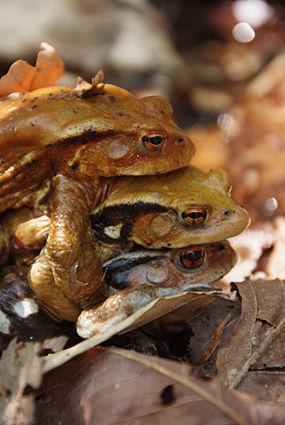 ヒキガエルの交尾