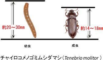 見た目はウジ虫そっくりのミルワーム