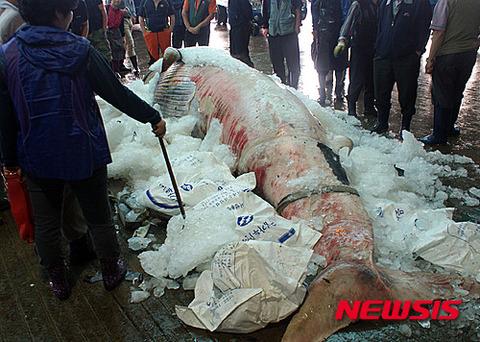 バ韓国で競りにかけられるミンククジラ