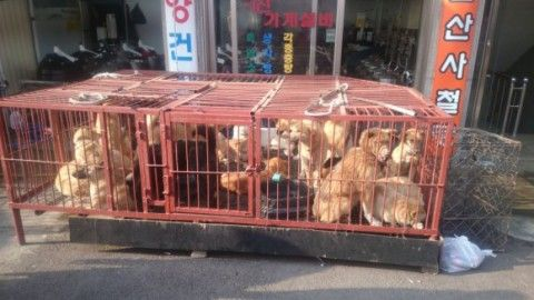 犬肉を食うのはキチガイバ韓国塵