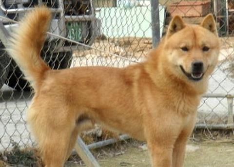 バ韓国の珍島犬