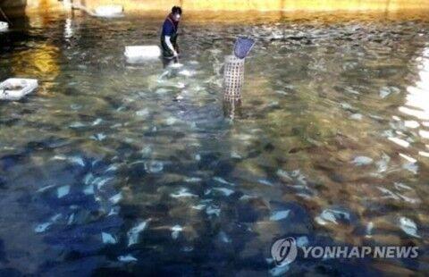 バ韓国産のヒラメは病原菌まみれ