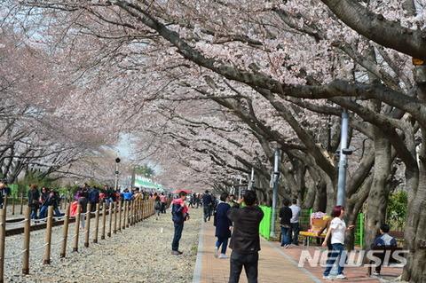 バ韓国の桜に同情します