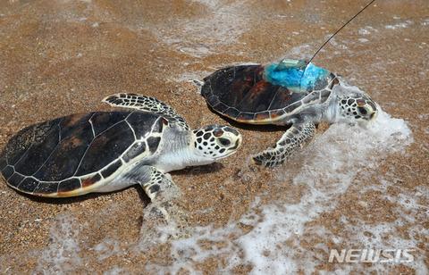 バ韓国で撮影されたウミガメ