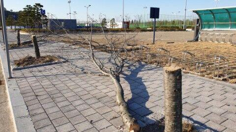 キチガイバ韓国塵が桜の木など30本をばっさり