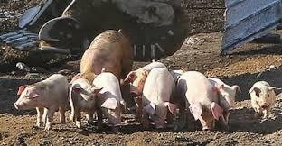 韓国の養豚場で火災発生
