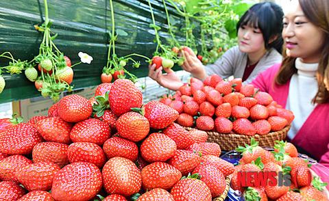 日本からパクった品種のイチゴ