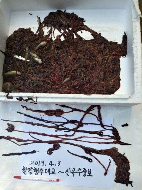 バ韓国で大量発生中のひも虫