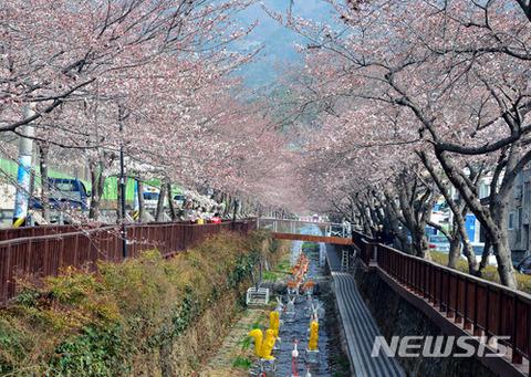 バ韓国の桜はとにかく臭そう