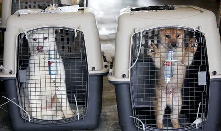 米国に送られるバ韓国で救出された犬