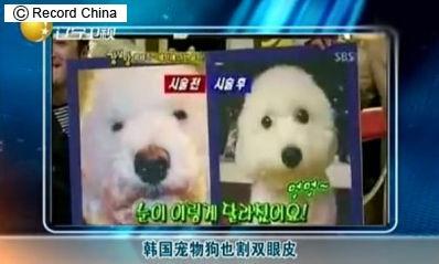 犬の目を整形で大きくする韓国塵。なんたる動物虐待!