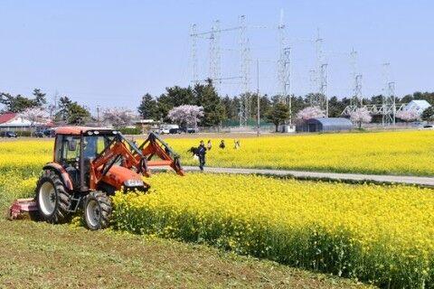菜の花畑を処分するキチガイバ韓国塵