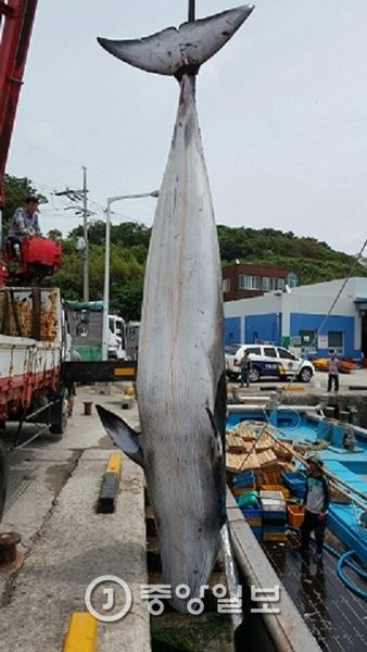 偶然網にかかったと言い張ってクジラを乱獲する屑チョンども