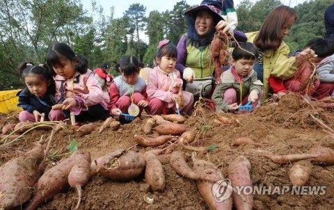 芋を掘るバ韓国の醜い幼獣ども