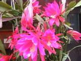 店頭のサボテンの花