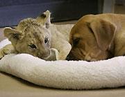 犬とライオン