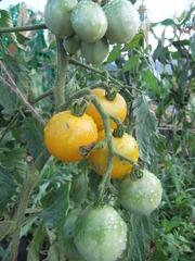 トマト2011その3