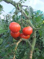トマト2011その4