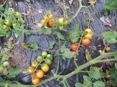 平地栽培トマト2012