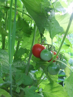 秘密栽培トマト