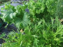 マスタードグリーンと水菜