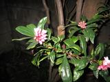 20100224沈丁花