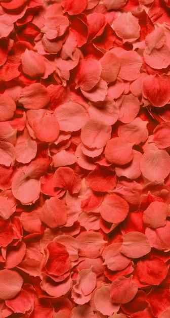 Pink-Rose-32