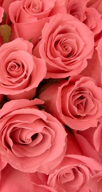 Pink-Rose-104