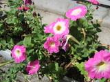 夏の花01