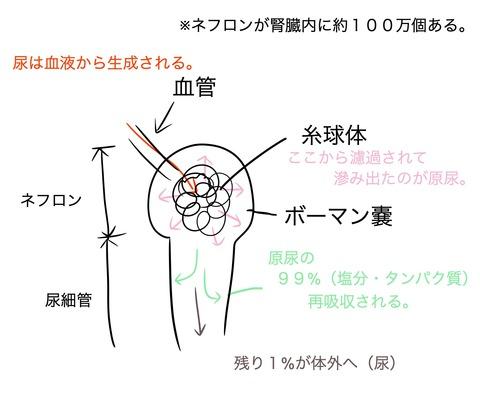 尿の生成の仕組みについて